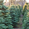 Holiday guide: Tis' the season to find the perfect Christmas tree